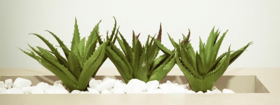 Алое Вера (Aloe barbadensis)